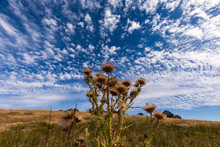 Thistles With Blue Sky And Clo...