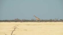 Long Distance Shot, Two Giraffes Walking Through Frame At Etosha National Park, Namibia