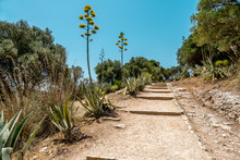 Blooming Agave Along Path To G...