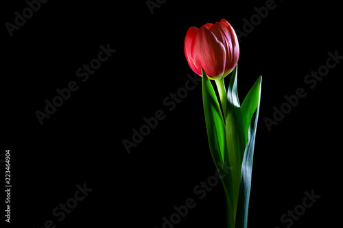 Foto op Plexiglas Tulp Red tulip closoeup glowing in the dark - studio shot on black background with copy space