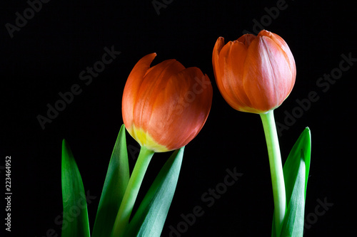 Fotografía  Two orange tulips attracted to each other on black background - relationship con