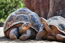 Two Galapagos Tortoises Having...
