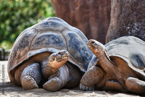 Poster Tortue Two Galapagos Tortoises having a conversation