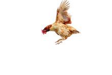 Chicken Flies On A White Backg...