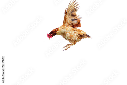 Chicken flies on a white background, cock spreading on the air