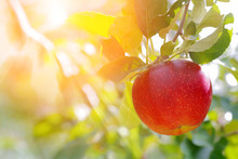 Sun's Rays Shine Through Leaves And Ripe Apples In Orchard. Shallow Depth Of Field.