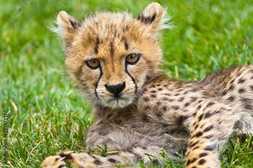 Obraz na plátně Grumpy cheetah cat cub staring at the camera