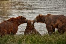 The Three Bears Eating Ears Or...