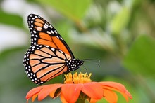 Monarch Butterfly On A Zinnia ...