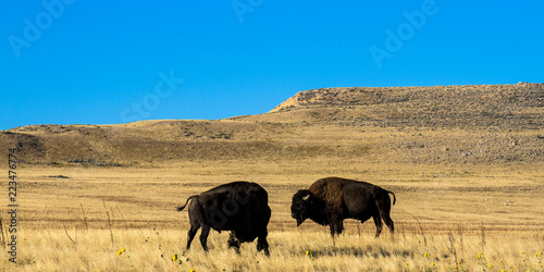 Foto op Canvas Bison Two large Bison or Buffalo bulls on the windswept prairie of Antelope Island State Park, in the middle of the Great Salt Lake in Utah