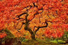 Japanese Maple Tree In Autumn With Vivid Colors
