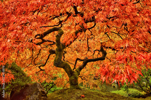 Fotografie, Obraz Japanese Maple Tree in Autumn with vivid colors