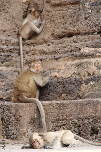 Rhesus Macaques or Bhandar monkey at the streets
