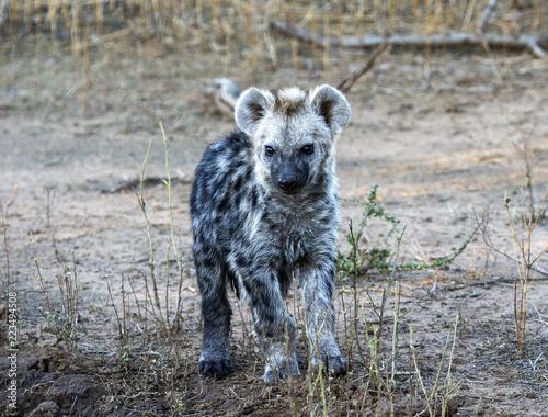 Staande foto Hyena hyena cubs