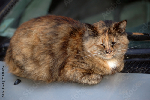 Photo  tricolor cat sleeping on the car in the street