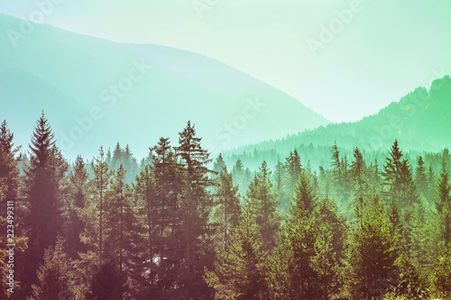 Garden Poster Forest panoramic image of mysterious green misty fog pine tree forest and mountains