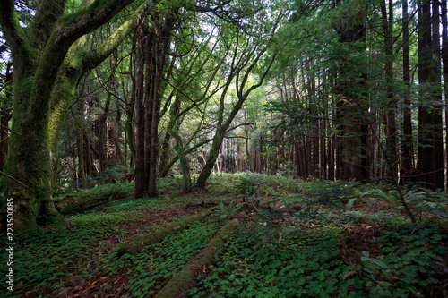 Green leaves in dark redwood forest