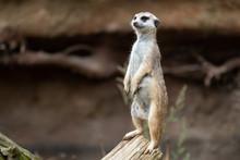Suricata Standing On A Guard. Curious Meerkat (Suricata Suricatta).