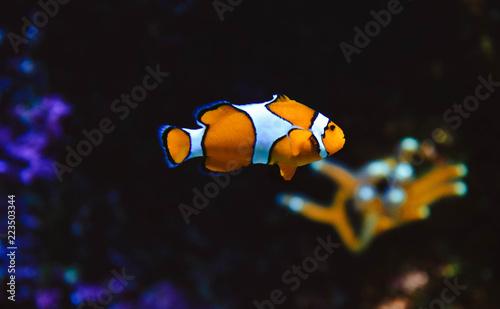 Photo  clownfish