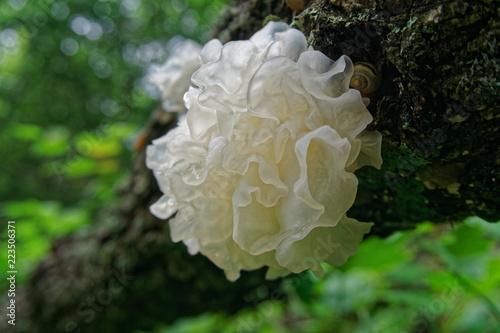 Mushroom Tremella fuciformis