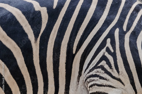 Tuinposter Zebra south africa kruger wildlife nature reserve and wild zebra skin abstract background