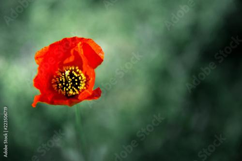 Fotobehang Poppy poppy flower in green field, shallow focus