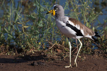 White-crowned Lapwing Bird With Prominent Wing Spurs, Front