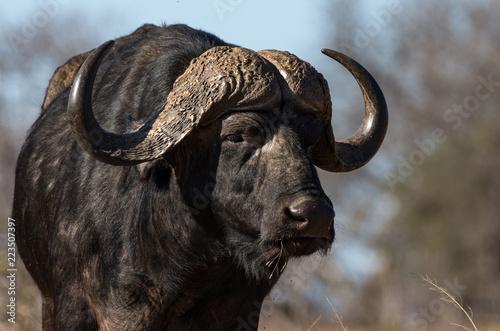 Staande foto Buffel Facial portrait of Cape buffalo bull