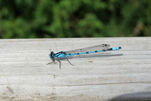 Common Blue Damselfly Resting ...