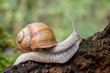 canvas print picture - Close up shot of snail