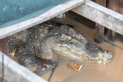 Foto op Plexiglas Krokodil crocodile under the house in the dirt in asia