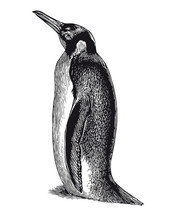 Vector High Detail Penguin Engraving