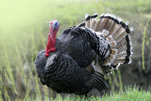 Pinturas sobre lienzo  wild turkey