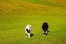 Grasende Kühe Weide Kuhweide