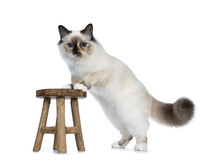 Naughty Tortie Sacred Birman Cat Kitten Standing Side Ways With Front Paws On Little Wooden Stool, Looking At Lens Isolated On White Background