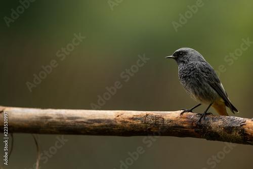 Black Redstart bird on a branch