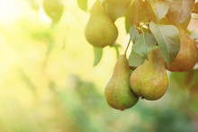 Ripe Juicy Pears On Tree Branches In Garden