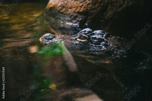 Foto op Plexiglas Krokodil crocodile in water