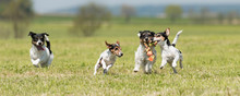 A Pack Of Dogs Is Racing And Playing - 4 Jack Russell Tricolor Pedigree Dogs - Hair Style Smooth, Rough And Broken