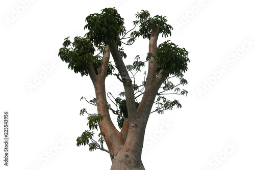 Top of Boabab tree isolated on white background.