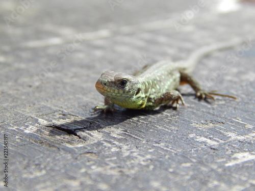 Poster Chamaleon Lizard