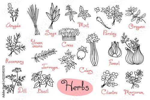 Zestaw rysunków ziół stosowanych w kuchni do projektowania menu, przepisów i opakowań produktu