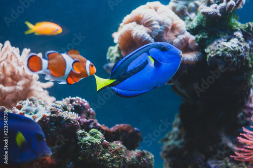Door stickers Under water Aquarium Fish blue surgeonfish paracanthurus hepatus or blue tang, regal tang, palette surgeonfish.