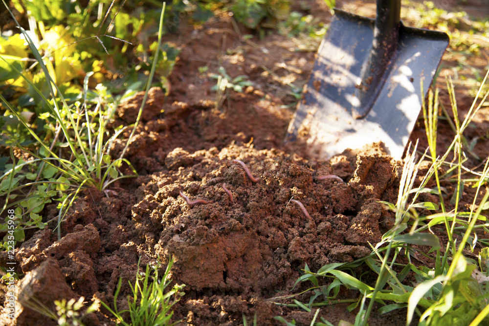Fototapeta earthworms in healthy topsoil when digging after the vegetable harvest. The carefully composted soil is free of nitrates and ideal for organic cultivation of fruits and vegetables.