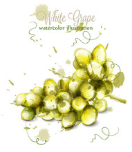 White Grapes Watercolor Vector. Painted Splash Style Illustrations