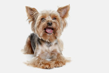 Yorkshire Terrier At Studio Ag...