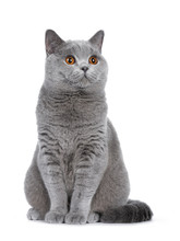 Sweet Young Adult Solid Blue British Shorthair Cat Kitten Sitting Up, Looking To The Side With Orange Eyes , Isolated On White Background