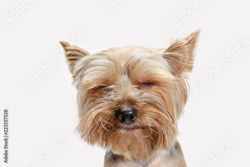 Obraz na plátně Yorkshire terrier at studio against a white background
