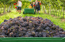 Crate Of Harvested Grapes And ...