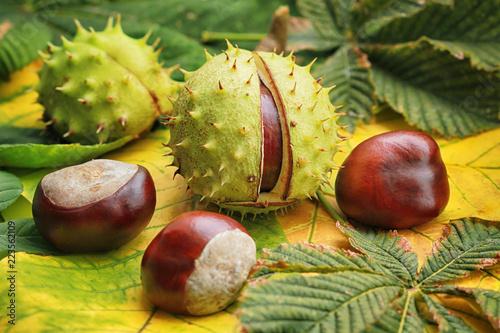 Obraz Horse chestnuts on autumn foliage - fototapety do salonu